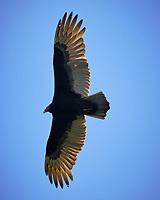 Turkey Vulture soaring. Image taken with a Fuji X-T2 camera and 100-400 mm OIS lens (ISO 200, 261 mm, f/6.4, 1/850 sec).