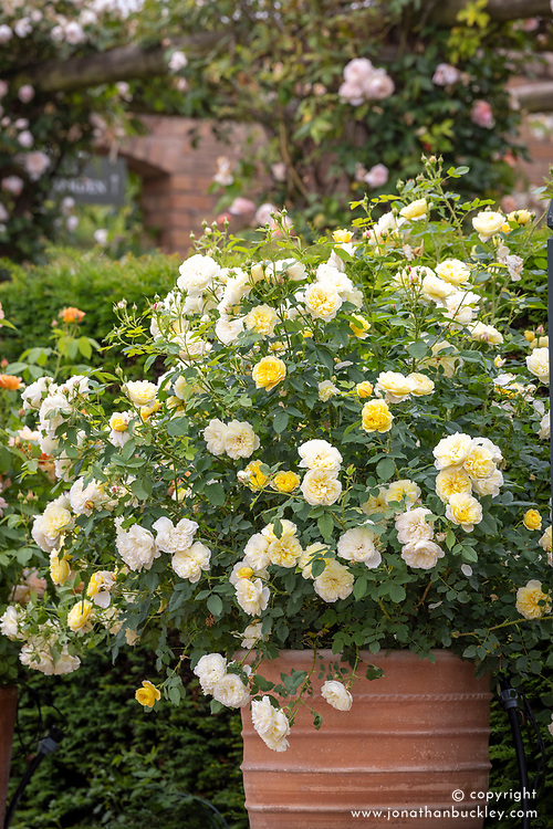 Rosa 'The Country Parson' syn. 'Ausclergy' growing in a terracotta pot