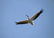 White Pelican In Flight - Pelecanus onocrotalus