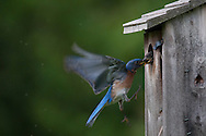 This Eastern Bluebird nested in our backyard and is returning to the nest box to feed its chicks.