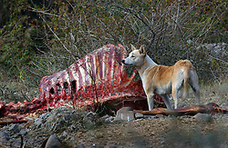 Rabid dogs eat the remains of cow carcasses near Pinjore, India. India has the highest rate of rabies in the world and many believe it has to do with the near extinction of vultures who once ate the remains of the animals. Dr Vibhu Prakash of the Bombay Natural History Society has vultures in captivity near Pinjore, India in an effort to rescue the birds from extinction. Oriental White-backed Vultures, Long-billed and Slender-billed Vultures populations have all plummeted so much that scientists think all three could be extinct within a year or two. Ami Vitale<br />