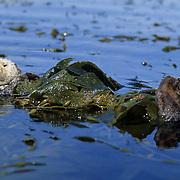 Sea Otter, (Enhydra lutris) Wrapped in kelp in ocean.