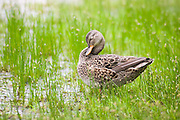 A female mallard duck (Anas platyrhynchos) sleeps among flowering common spikerush plants (Eleocharis palustris) in Union Bay Natural Area, Seattle, Washington.