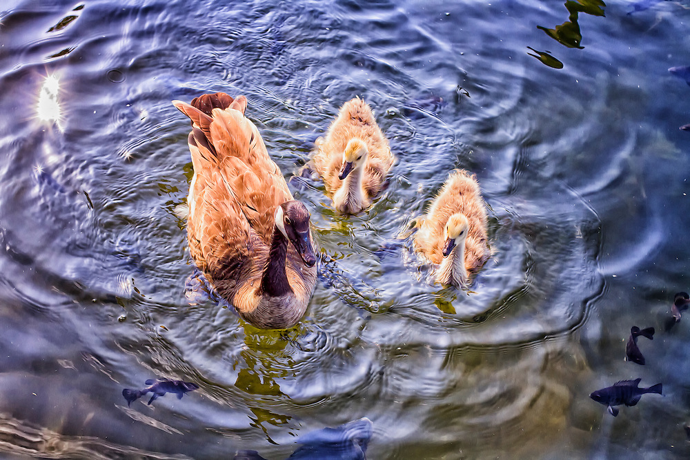 After enjoying some bread the geese and gosling's seem happy and just continue to swim around the docks at Maynard's enjoying the beautiful weather.