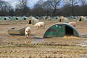 Free range pig livestock farming, Shottisham, Suffolk, England, UK