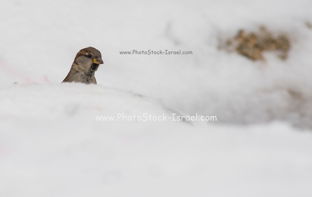 House Sparrow (Passer domesticus) in the snow. Photographed in Israel in winter