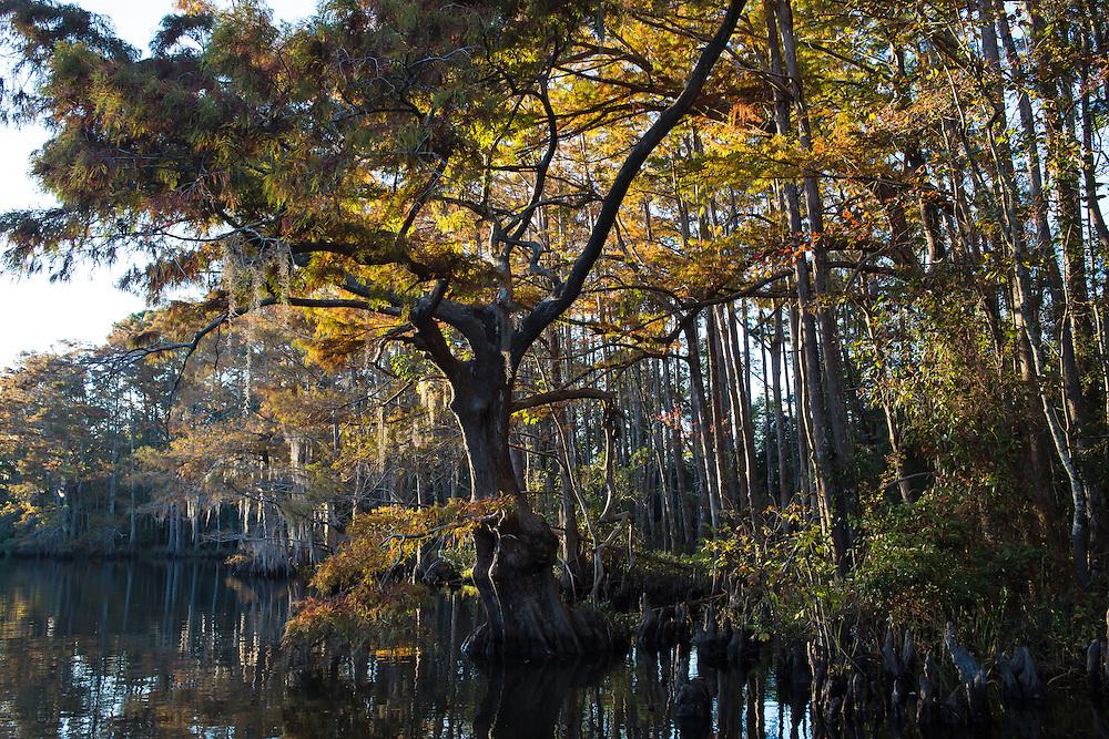 Moss on cypress trees in Big Branch Marsh National Wildlife Refuge in St. Tammany Parish, Louisiana.