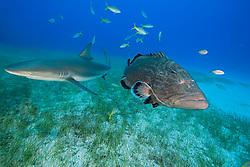 Black Grouper, Mycteroperca bonaci, and Caribbean Reef Shark, Carcharhinus perezi, West End, Grand Bahamas, Atlantic Ocean