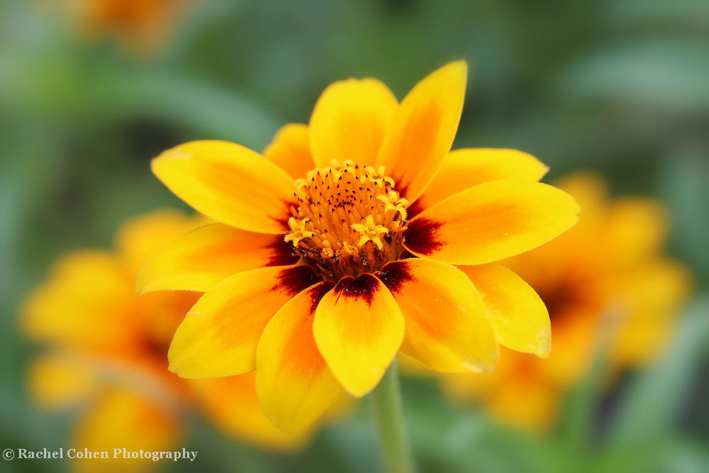 """""""Summers Sweetness""""<br /> <br /> Ah, the wonderful and sweet feel of summer!!<br /> Enjoy the enticing sweetness of summer in this lovely soft yellow Zinnia image!!<br /> <br /> Flowers and floral images by Rachel Cohen"""