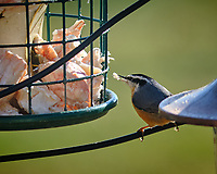Red-breasted Nuthatch. Image taken with a Fuji X-H1 camera and 200 mm f/2 lens + 1.4x TC