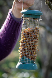 Putting up hanging bird feeder filled with mealworms