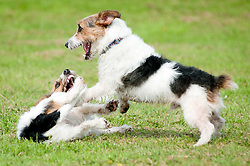 Two black, white and tan Jack Russell terrier dogs play fighting in a park <br /> 9 Aug 2010 .Images © Paul David Drabble