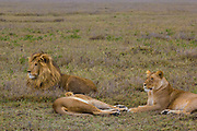 Male lion, kickass defender of a pride, Serengeti National Park, Tanzania.