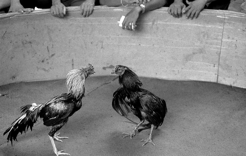 Cockfight. Chiang Mai, North Thailand