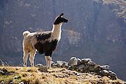 Llama, El Choro, Bolivia