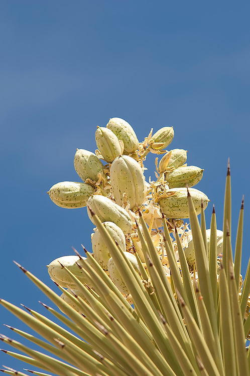 "These ripe fruits of the Joshua tree range in size from 2-4 inches, and are clustered on the tall flower ""spikes"" that can be from 12-60 inches from the center of the rosette where new leaves form. These were photographed from below with a nice morning golden light in the Mojave Desert in Southern California."