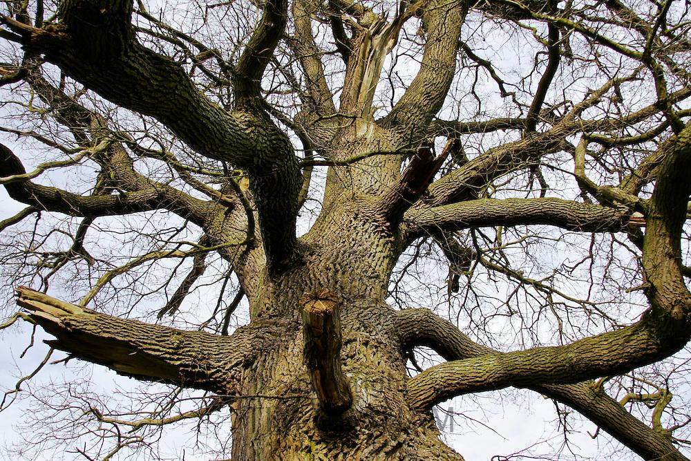 Dead oak tree, Sherbourne, Gloucestershire, United Kingdom