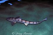 leopard shark, Triakis semifasciata, smoothhound shark ( family Triakidae ) from California ( Pacific ) (c)