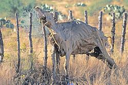 Dead Cow Along Fence