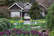 Daffodils blooming in front of the Rose Garden Cottage in Stanley Park, Vancouver, British Collumbia