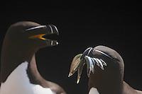 Razorbill, alca torda, Ireland, Saltee Islands