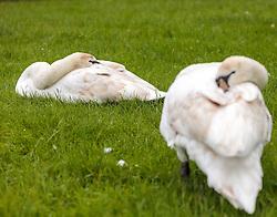 THEMENBILD - mehrere Höckerschwäne schlafen an einem verregneten Tag auf einer Badewiese, aufgenommen am 23. Mai 2015 am Zeller See, Zell am See, Österreich // a few Mute Swans sleeping on a rainy Day on a sunbathing lawn at the Lake Zell, Zell am See, Austria on 2015/05/23. EXPA Pictures © 2015, PhotoCredit: EXPA/ JFK