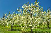 Apple trees in bloom (flowering) on an orchard on Lake Ontario in the Niagara Region.  Golden Horseshoe. Niagara Peninsula.<br /><br />Ontario<br />Canada