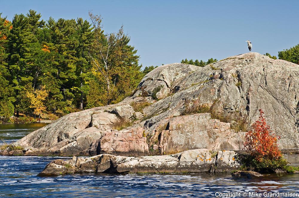 Great blue heron (Ardea herodias) on top of rock<br />Burleigh Falls<br />Ontario<br />Canada