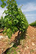 Vines. Biblia Chora Winery, Kokkinohori, Kavala, Macedonia, Greece