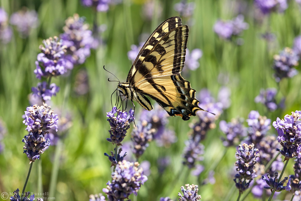 A Western Tiger Swallowtail (Papilio rutulus) feeding on nectar from Lavender flowers in a Fraser Valley garden.  The adult Western Tiger Swallowtails are Nectarivores, feeding on nectar from flowers only.  The immature caterpillars feed on plant leaves - mostly cottonwood and birch but including willows and wild cherry.