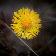 Trollhättan 20170404<br /> Hästhov  Hästhovsört  även kallad tussilago är en liten gul blomma <br /> Tussilago farfara <br /> ----<br /> FOTO : JOACHIM NYWALL KOD 0708840825_1<br /> COPYRIGHT JOACHIM NYWALL<br /> <br /> ***BETALBILD***<br /> Redovisas till <br /> NYWALL MEDIA AB<br /> Strandgatan 30<br /> 461 31 Trollhättan<br /> Prislista enl BLF , om inget annat avtalas.