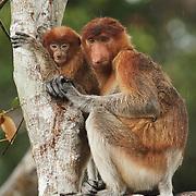 Proboscis monkey (Nasalis larvatus) mother and baby. Sekonyer River, Tanjung Puting National Park, Borneo