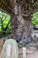 Negoroji Temple Zelkova Tree - Negoroji Temple - It's from this temple that the name of the prefecture, Kagawa is derived. Kagawa means 'incense river' and it's named after a river thought to flow from the roots of a tree in the courtyard of the temple. It's located on the same plateau as temple 81. Interesting features of the temple include a shrine with 10,000 images of Kannon, a thousand-year-old Zelkova tree and a statue in front of the main gate of an ox devil.  The temple is located up midway up Mt. Aomine. Its name means Root Scent Temple. The legend has it that there was a horrible ox demon living on Mt. Aomine who ate people. This demon was slain by a master archer who then dedicated its horns to this temple. In front of the gate is a bronze statue of this ox demon.