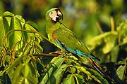 Chestnut-fronted Macaw<br />Ara severa<br />Amazon Rain Forest,  PERU.  South America<br />Range: Panama to Brazil