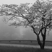 """""""Dogwood in Fog"""" mono<br /> <br /> Lovely moody spring image of a dogwood tree in bloom at Dickey Ridge in Shenandoah National Park!!<br /> <br /> The Blue Ridge Mountains by Rachel Cohen"""