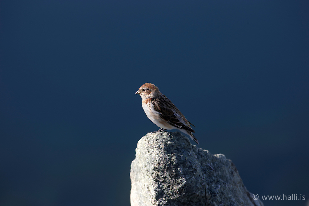 Bird at he lake, Jokulsarlon in Breidamerkursandur, Iceland -Selir á Jökulsárlóni á Breiðamerkursandi