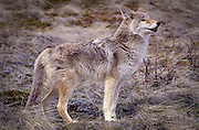 Portrait of a Coyote (Canis latrans) in alpine grassland, Montana.