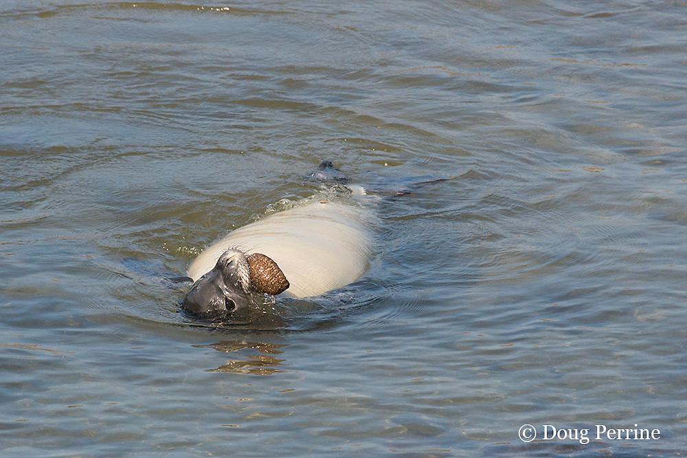 recently weaned 52 day old male Hawaiian monk seal, Neomonachus schauinslandi or Monachus schauinslandi, ( Critically Endangered, endemic species ) mouthing white-spotted sea cucumber, Actinopya mauritania, at Keokea Beach Park, Niulii, North Kohala, Hawaii Island ( the Big Island ), Hawaii, U.S.A. (5 days after weaning)