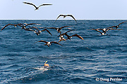snorkeler swims toward a bait ball of Spanish sardines (aka gilt sardine, pilchard, or round sardinella ), Sardinella aurita, under attack by frigate birds, Fregata sp., and Atlantic sailfish, Istiophorus albicans, off Yucatan Peninsula, Mexico ( Caribbean Sea )