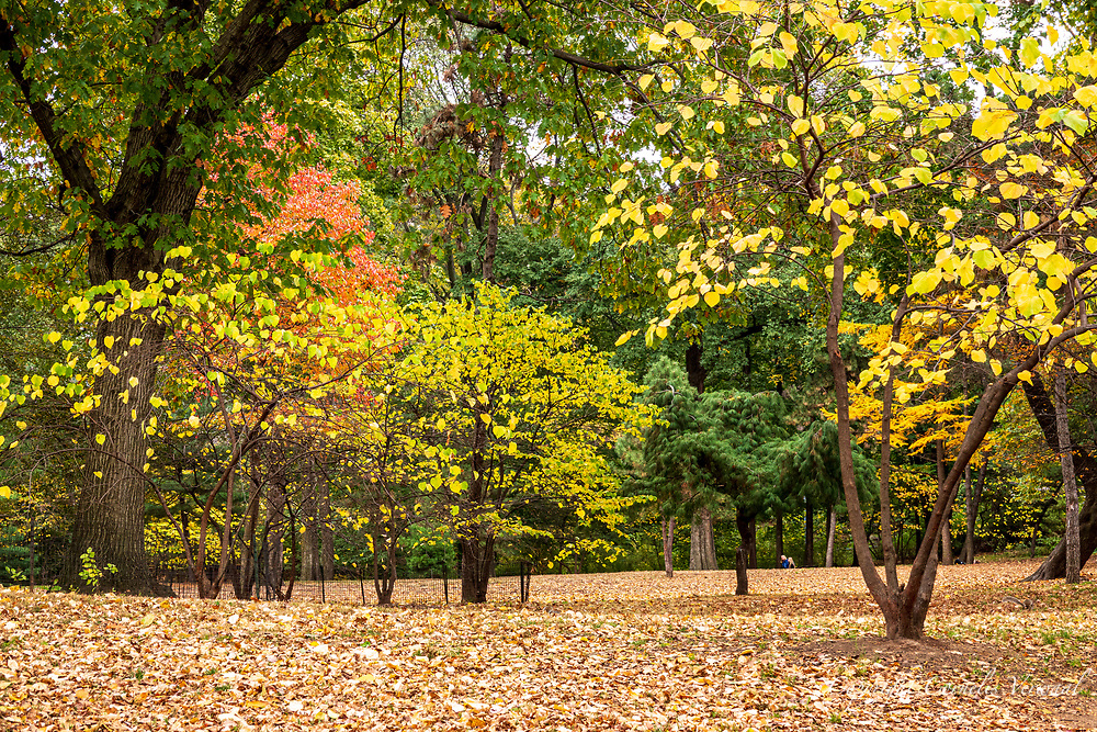 Autumn colors at the Pinetum East in Central Park.
