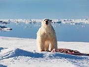 A polar bear (Ursus maritimus) on sea ice with a seal kill, Spitsbergen, Svalbard, Norway
