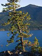 Douglas fir, Pseudotsuga menziesii, growing on windswept rocky point of Lake McDonald northeast of Fish Creek, Glacier National Park, Montana.
