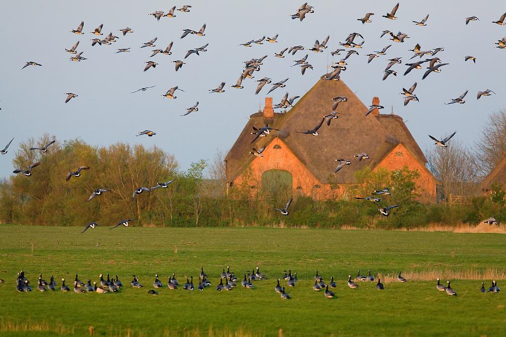 24.04.2009<br /> Barnacle Goose (Branta leucopsis) apácalúd<br /> Westerhever, Germany