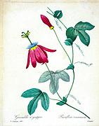 19th-century hand painted Engraving illustration of a Red Passion Flower. (Passiflora racemosa) by Pierre-Joseph Redoute. Published in Choix Des Plus Belles Fleurs, Paris (1827). by Redouté, Pierre Joseph, 1759-1840.; Chapuis, Jean Baptiste.; Ernest Panckoucke.; Langois, Dr.; Bessin, R.; Victor, fl. ca. 1820-1850.