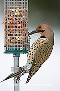 01193-015.04 Northern Flicker (Colaptes auratus) male on peanut feeder, Marion Co. IL
