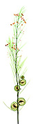 X-Ray of Giant swan milkweed (Gomphocarpus physocarpus): Asclepias physocarpa is the former botanical name, Goose plant, Giant swan milkweed, Hairy balls, Family jewels, Oscar, Cotton-bush, Balloon plant
