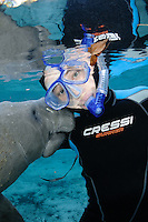 Florida manatee, Trichechus manatus latirostris, a subspecies of the West Indian manatee, endangered. A female snorkeler has a curious female manatee rub on her wetsuit on a cool Florida day. Facing forward towards viewer. Vertical orientation and polite, passive observation, no touch. Even when no-touch observations are practiced some manatees are overly curious. Three Sisters Springs, Crystal River National Wildlife Refuge, Kings Bay, Crystal River, Citrus County, Florida USA.