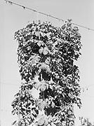 5595Hop vine loaded with hops on the E. Clemens Horst hop ranch near Independence, Oregon. September 1, 1942.