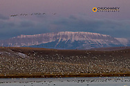 Snow geese lift off with Castle Reef in background  during spring migration at Freezeout Lake WMA near Choteau, Montana, USA