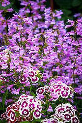 Dianthus barbatus 'Electron Auricula-eyed Mixed' - Sweet William - with Penstemon heterophyllus 'Heavenly Blue'